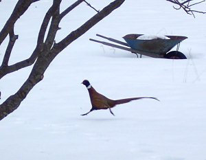 Ring-necked pheasant sprinting across the lawn