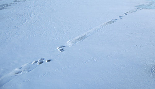Mystery prints. Looks like 4 paws, then 4 paws, then something dragged for a distance, repeat.