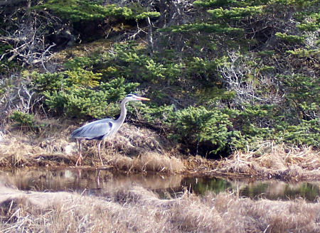 Great Blue Heron on Bush Island, LaHave