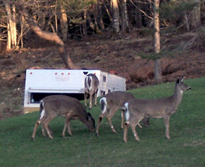 A bold group of white-tailed deer outside Mahone Bay