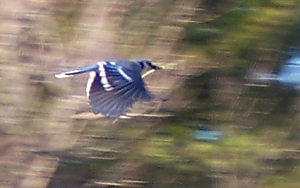 Blue jay flies across the lawn