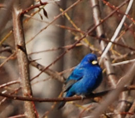 At first, the mysterious blue bird was shy and kept his distance.
