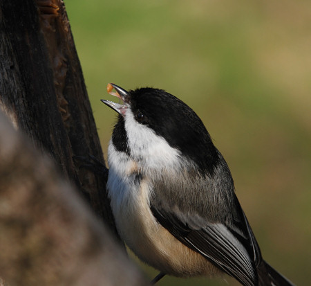 Chickadee struggles to get peanut butter off the roof of its beak.  Dennis Robinson photo.