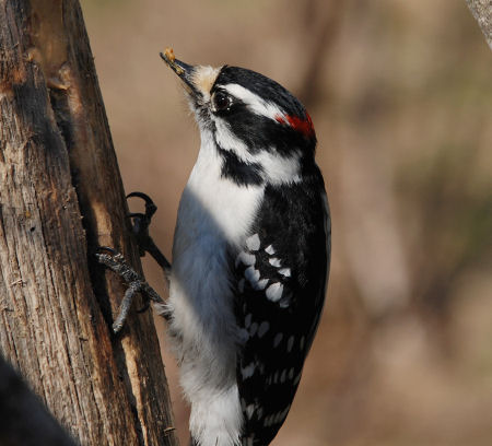 Downy Woodpecker learns about peanut butter sticking to the roof of your beak. Photo by Dennis Robinson