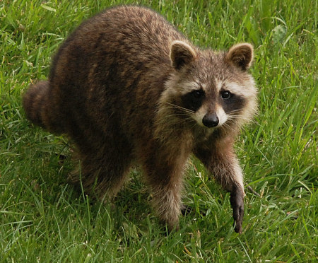 Racoon spotted in the Annapolis Valley by Dennis Robinson.