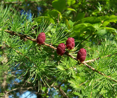 The red of young cones on the tamarack
