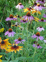 Two coneflowers: Rudbeckia and Echinaecea. Photo J. Maginley