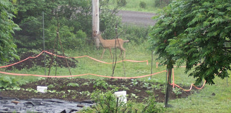 Thin, almost invisible netting separates my garden from this deer.