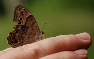Friendly Lepidoptera probes Dennis' hand with proboscis. Click to enlarge.