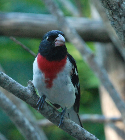 A male Rose Breasted Grosbeak.  What a handsome fellow!  Photographed near Blomidon on July 20 by Dennis Robinson.