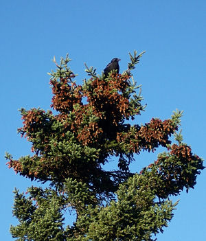 Crow in the cones high on a spruce tree