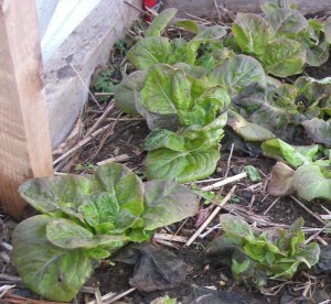 lettuce in January